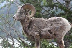 Ovejas de carnero con grandes cuernos jovenes de la montaña rocosa Imagenes de archivo