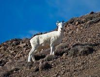Ovejas de Dall de la oveja Imágenes de archivo libres de regalías