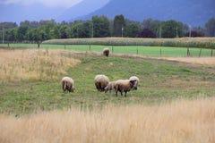 Ovejas de Hampshire en valle Imagenes de archivo