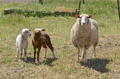Ovejas de la lechería con los corderos en Australia Foto de archivo libre de regalías