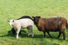 Ovejas de la madre con los corderos de la remolque que alimentan en pasto verde imágenes de archivo libres de regalías