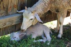 Ovejas de la madre con su cordero del bebé Foto de archivo libre de regalías