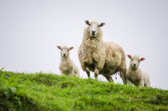 Ovejas de la madre y sus corderos gemelos Imágenes de archivo libres de regalías