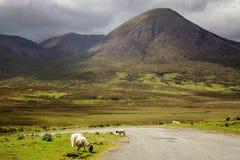 Ovejas de la montaña que pastan por el camino en montañas escocesas Imagenes de archivo