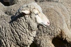 Ovejas de la oveja Imagen de archivo libre de regalías