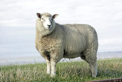 Ovejas de las lanas Foto de archivo libre de regalías