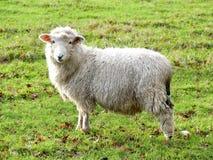 Ovejas de los j?venes en campo en la granja de Bullsland, Chorleywood fotos de archivo libres de regalías