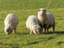 Ovejas de los j?venes en campo en la granja de Bullsland, Chorleywood fotos de archivo