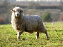 Ovejas de los j?venes en campo en la granja de Bullsland, Chorleywood foto de archivo libre de regalías