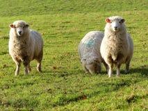 Ovejas de los j?venes en campo en la granja de Bullsland, Chorleywood imagen de archivo