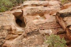 Ovejas de montaña rocosa Imágenes de archivo libres de regalías