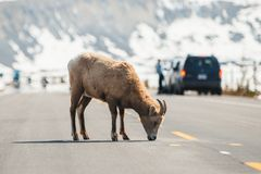 Ovejas de monta?a que cruzan la carretera principal, ruta verde de Icefields, Jasper National Park, viaje Alberta, monta?as rocos imágenes de archivo libres de regalías