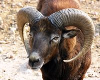 Ovejas de Mouflon Fotos de archivo