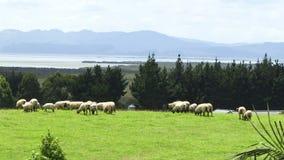 Ovejas de Nueva Zelanda en campo metrajes