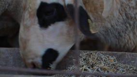 Ovejas del animal del campo del mamífero almacen de video
