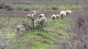 Ovejas del animal del campo del mamífero metrajes