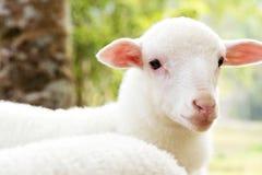 ovejas del bebé en la granja Foto de archivo libre de regalías