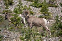 Ovejas del Big Horn que caminan en una ladera Foto de archivo libre de regalías