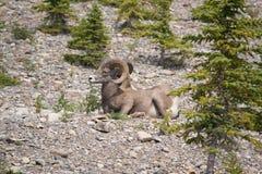 Ovejas del Big Horn que descansan sobre una montaña Fotos de archivo libres de regalías