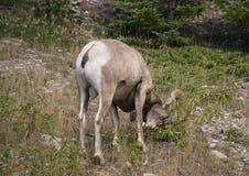 Ovejas del Big Horn que frotan sus cuernos en la tierra Fotos de archivo