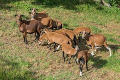 Ovejas del Camerún en el prado Foto de archivo libre de regalías