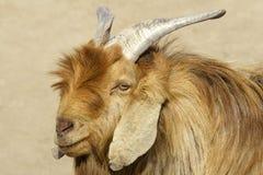 ovejas del Grande-oído Fotos de archivo