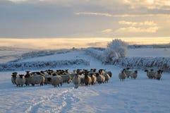 Ovejas del invierno foto de archivo libre de regalías