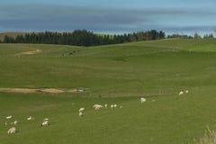 Ovejas del punto en el campo de hierba verde Imagen de archivo libre de regalías