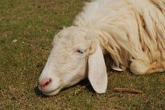 Ovejas el dormir Fotografía de archivo libre de regalías