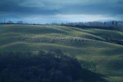 Ovejas en colinas toscanas Imagenes de archivo