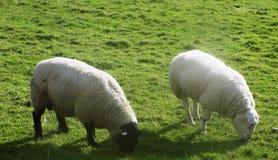 Ovejas en Crookham, Northumberland, Inglaterra Reino Unido Foto de archivo