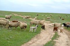 Ovejas en el camino de tierra en la estepa Kalmukia Imagen de archivo