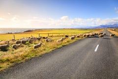 Ovejas en el camino en Islandia Imagen de archivo libre de regalías