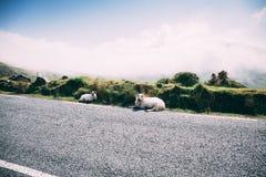 Ovejas en el camino escénico a Conor Pass en el condado Kerry, Irlanda Fotos de archivo libres de regalías