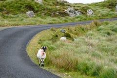 Ovejas en el camino en Irlanda foto de archivo