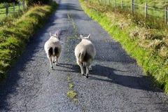 Ovejas en el camino, isla de Skye, Escocia Imagen de archivo