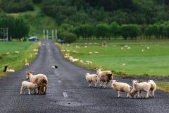 Ovejas en el camino islandés Imágenes de archivo libres de regalías