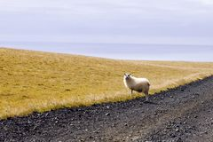 Ovejas en el camino La naturaleza salvaje de Islandia Foto de archivo