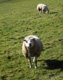 Ovejas en el campo, Crookham, Northumberland, Inglaterra Reino Unido Imagen de archivo