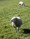 Ovejas en el campo, Crookham, Northumberland, Inglaterra Reino Unido Foto de archivo