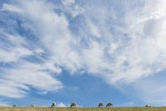 Ovejas en el dique en Texel con las nubes Imagenes de archivo