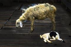 Ovejas en el ganado hecho por la madera Fotografía de archivo
