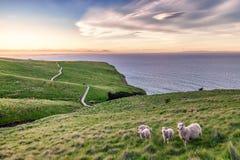 Ovejas en el paisaje de Nueva Zelanda fotos de archivo