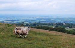Ovejas en el parque nacional de Dartmoor imagen de archivo