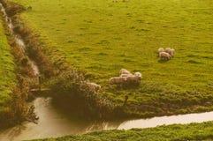 Ovejas en el prado Fotos de archivo