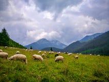 Ovejas en el prado, Zakopane, Polska fotos de archivo
