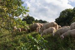 Ovejas en el tiempo de verano augusto en Alemania del sur cerca de Stuttgart Foto de archivo