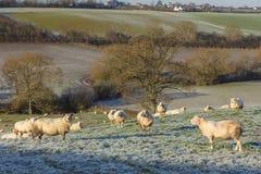 Ovejas en Frosty Field Imagen de archivo