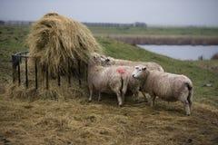 Ovejas en granja Foto de archivo libre de regalías