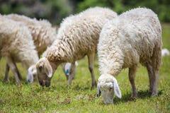 Ovejas en hierba Foto de archivo libre de regalías